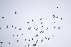 Птицы стада летают Стоковое Фото
