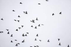 Птицы стада летают Стоковое Изображение RF