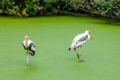 2 птицы стоя в зеленом пруде Стоковое фото RF