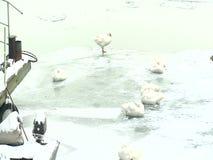 Птицы стоя на леднике в замороженном реке сток-видео