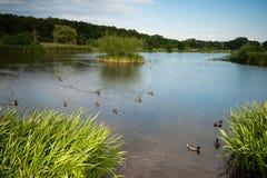Птицы съезда в прибрежной земле семьи утки. стоковое изображение rf