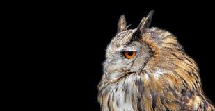 Птицы сыча орла хищной птицы длинные ушастые изолированные на черноте стоковые фото
