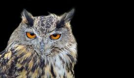 Птицы сыча орла хищной птицы длинные ушастые изолированные на черноте стоковые изображения