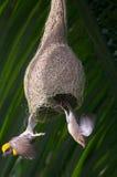 Птицы ткача Стоковая Фотография
