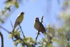 Птицы ткача Стоковое Изображение RF