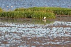 Птицы травы и заболоченного места моря Стоковые Фотографии RF