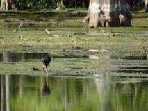 птицы удя в болоте стоковое фото