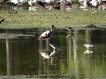 птицы удя в болоте стоковые изображения