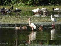 птицы удя в болоте стоковые фото