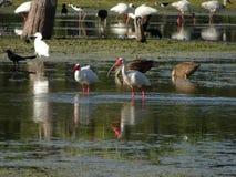 птицы удя в болоте стоковая фотография