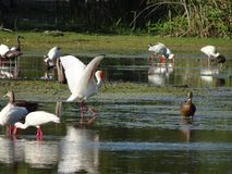 птицы удя в болоте стоковая фотография rf