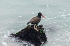 Птицы -- Устрица Negruzco -- на утесах на крае моря Стоковая Фотография