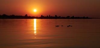 Птицы утки в светах захода солнца Стоковые Изображения