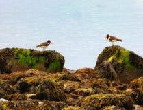 Птицы улавливателя устрицы на пляже серебра Коннектикута Стоковое Изображение