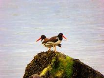 Птицы улавливателя устрицы на пляже серебра Коннектикута Стоковые Фото