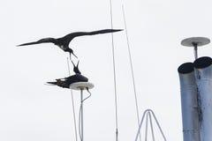 2 птицы фрегата воюя один другого Стоковое Изображение