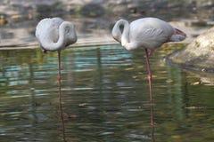 2 птицы фламенко Стоковое Фото