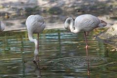 2 птицы фламенко Стоковые Изображения