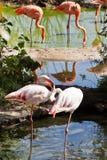 Птицы фламингоа outdoors Стоковое фото RF