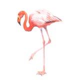 Птицы фламинго акварели изолированное животное реалистической тропическое Стоковые Изображения RF