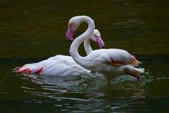 Птицы фламинго Стоковая Фотография RF