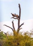 2 птицы хищника в Южной Африке Стоковая Фотография