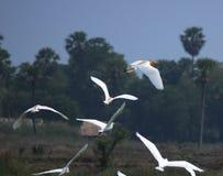 птицы цапли летания над полем риса Стоковое фото RF
