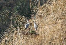Птицы цапли Стоковое Фото