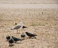 Птицы чайки и голубя на пляже Стоковые Фотографии RF