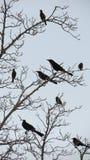 Птицы черноты белобровика - силуэт стоковые изображения rf