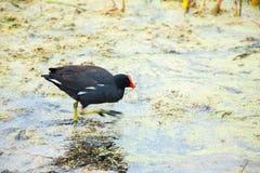 Птицы шеи хищника красные в национальном парке Paracas Перу Южной Америки островов Ballestas Стоковая Фотография