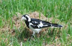 Птицы южной Австралии, линейного рая парка Стоковое Фото