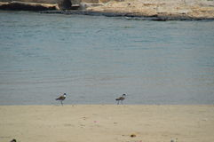 птицы 2 Стоковое Изображение RF
