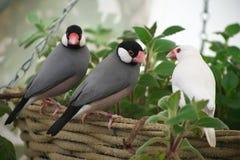 Птицы Amadin сидят на краю корзины в парнике стоковая фотография