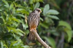 Птицы amurensis Falco сокола Амура красивые Таиланда Стоковые Фото