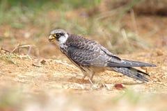 Птицы amurensis Falco сокола Амура Таиланда Стоковые Фотографии RF