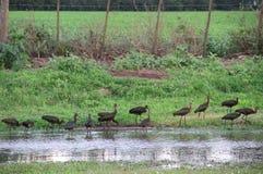 Птицы Bandurrias типичные Южной Америки стоковые изображения rf