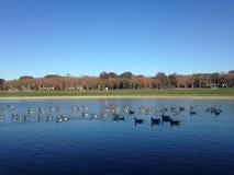Птицы Canadensis чёрной казарки плавая в пруде осенью парк Стоковые Изображения RF
