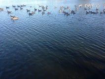 Птицы Canadensis чёрной казарки плавая в пруде осенью парк Стоковое Фото