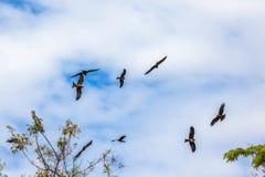 Птицы Eagles Желт-Представлять счет-змеев  Стоковые Изображения RF
