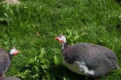 Птицы Guineafowl весной стоковое фото rf