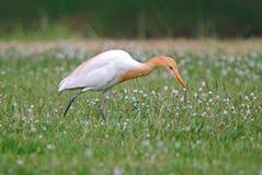 Птицы ibis Bubulcus egret скотин красивые Таиланда Стоковое фото RF