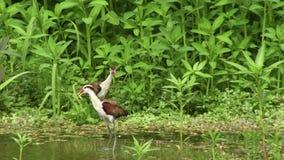 Птицы Jakana в Амазонке видеоматериал