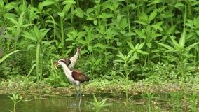 Птицы Jakana в Амазонке акции видеоматериалы