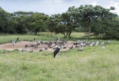 Птицы Marabou и хищника в одичалом Стоковые Фото