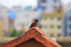 2 птицы Myna на крыше Стоковые Изображения
