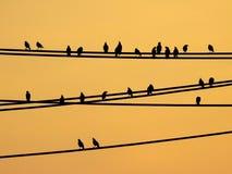 Птицы Mynas сидя на проводах и небе захода солнца Стоковые Изображения