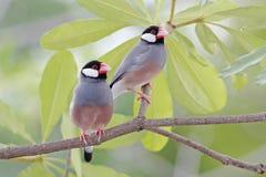 Птицы oryzivora Lonchura зяблика Ява воробья Ява женские Таиланда Стоковые Фото