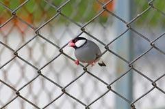 Птицы oryzivora Lonchura зяблика Ява воробья Ява милые Таиланда Стоковые Изображения