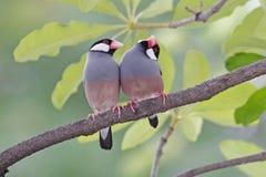 Птицы oryzivora Lonchura зяблика Ява воробья Ява Таиланда Стоковые Изображения RF